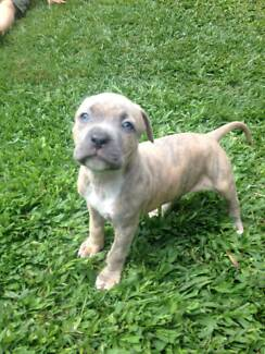 American Staffy Purebred Pup's Burpengary Caboolture Area Preview