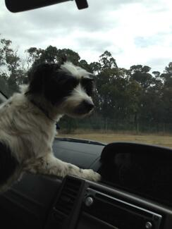 Lost: small black and white dog
