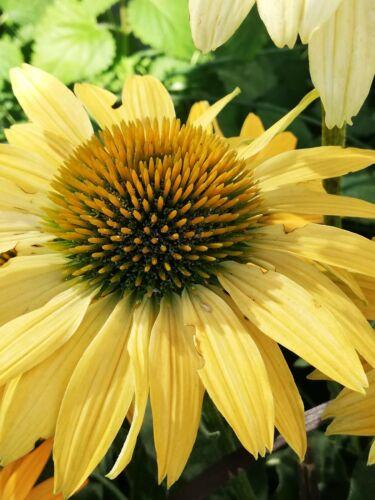 100 Samen Sonnenhut in gelb ......Echinacea
