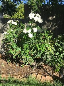 Rose Bush Redcliffe Belmont Area Preview