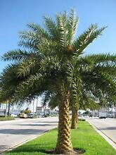 Palm Tree - Silver Date Palm - rare to find, easy to grow Casula Liverpool Area Preview
