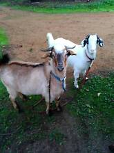 Pet goats very quiet Tambellup Pallinup Area Preview