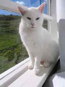 Opal- white dsh Meadow Heights Hume Area Preview
