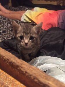 1 Tabby kitten left
