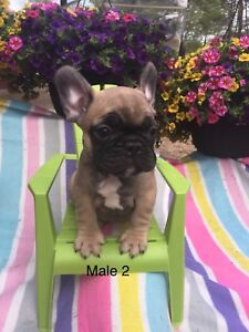 French bulldogs  males  available ready to go
