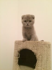Adorable chatons SCOTTISH-FOLD pure race