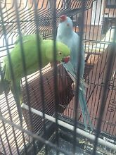 Green Indian Ring Neck Parrot Campsie Canterbury Area Preview
