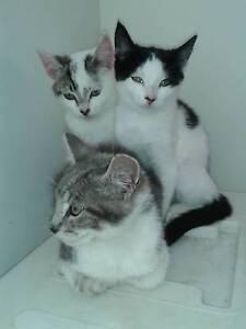 Our wonderful ragdoll x rus blue kittens Geelong Geelong City Preview
