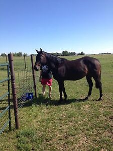6 year old gelding for sale