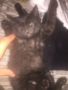 3 kittens for sale 2 males 1 female