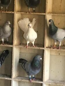 Fantail white pigeons - 10 for sale Millers Forest Maitland Area Preview