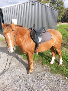 Australian riding pony Hillwood George Town Area Preview