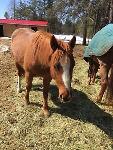 3yr old registered quarter horse filly