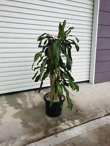 Variegated draceana indoor plant