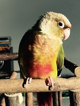 2 hand raised conures and cage for sale Secret Harbour Rockingham Area Preview