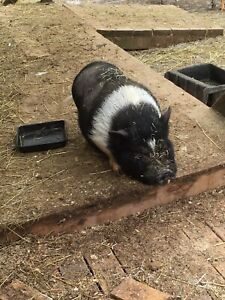 "Pot belly pigs ""small"" - Great addition to your hobby farm."