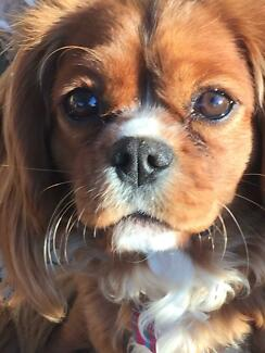 WANTED: cavalier King Charles