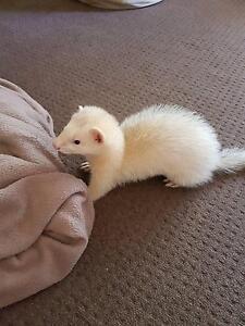 Ferret - blacked eyed, white fur Samson Fremantle Area Preview