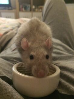 WANTED: female pet rat (older) Rhodes Canada Bay Area Preview