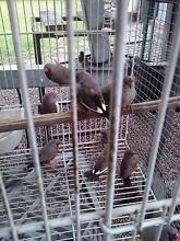 Charcoal zebra finch Bellbird Cessnock Area Preview