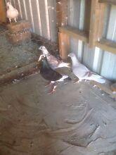 Racing pigeons Casula Liverpool Area Preview