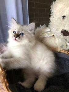 Birman Pedigree Kittens