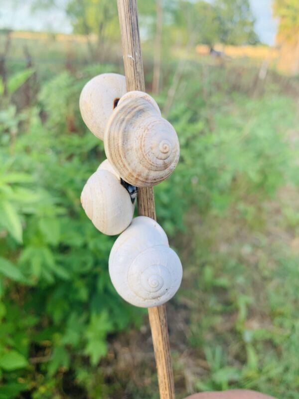 (1) ONE RARE Live WHITE Land Snails! XL Size!~Fun/Friendly/Pets + FREE GIFT🎁