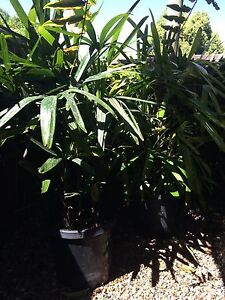 Rhapis Palms Kurmond Hawkesbury Area Preview