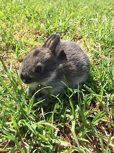 Netherland dwarf baby rabbit for new home ^^ Altona Meadows Hobsons Bay Area Preview