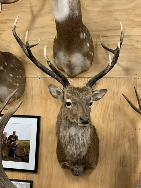 Mounted Sika Trophy Miscellaneous Goods Gumtree
