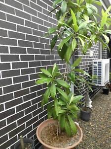 LOQUAT FRUIT TREE LARGE SIZE