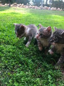 kittens free to a good home