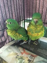 Hand raised baby lorikeets Richmond Hawkesbury Area Preview