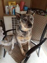 blue cattle dog Pomona Noosa Area Preview