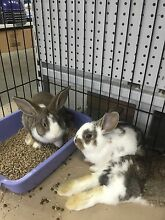 British giant cross dwarf lop bunnies Huonville Huon Valley Preview