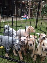 Cattle dog pups Boronia Heights Logan Area Preview