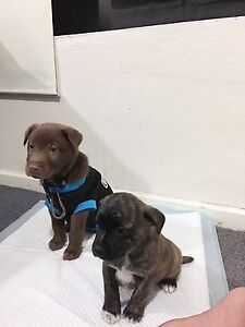 Puppies for SALE Downer North Canberra Preview