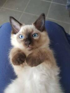 Ragdoll looking for forever home!