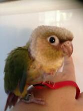 Baby handraised pineapple conure Launching Place Yarra Ranges Preview