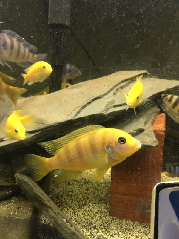 """ASSORTED AFRICAN CICHLIDS (6PACK)(FREE SHIPPING 1-3 DAY) (1""""-2.5"""")"""
