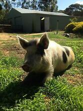 Miniature pig Bakers Hill Northam Area Preview