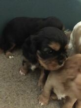 Black & Tan Cavalier Puppies Orchard Hills Penrith Area Preview