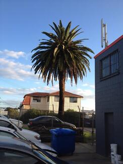 10 Metre High Phoenix Palm Tree (Free) Need it gone - Pendle Hill Old Toongabbie Parramatta Area Preview