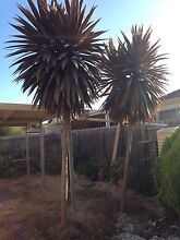 2 x Palm Trees (Cordylines) Hastings Mornington Peninsula Preview