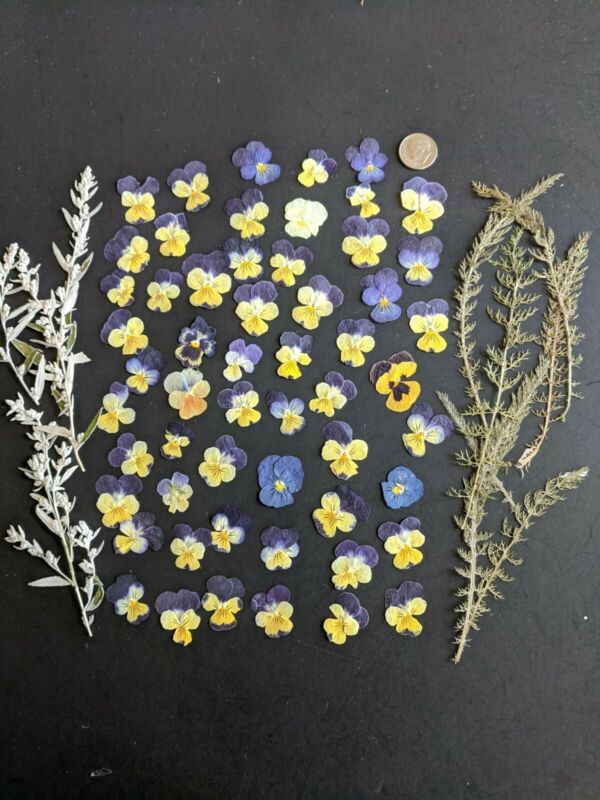 Dried Pressed Violas 50+ for Crafting
