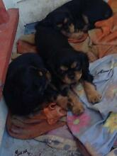 King Charles pups Taree Greater Taree Area Preview