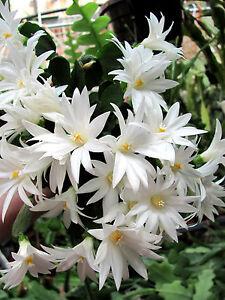 Osterkaktus Mohegan Spirit Hatiora Rhipsalidopsis Epiphyllum Blattkaktus weiß