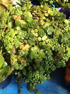 Succulent $5 per pot Engadine Sutherland Area Preview