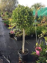 Trees to Feature in pots Austral Liverpool Area Preview