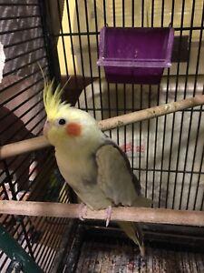 Pied cockatiel baby for sale